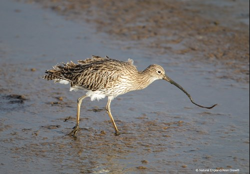 Image: Photo of a Curlew wading through sand and mud