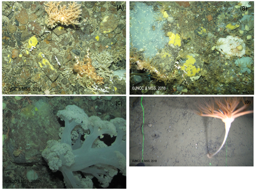 Potential stony reef with cold-water corals (A) and sponges and crinoids (B), cauliflower coral on gravel (C), and mud with Umbellulla sp. seapen (D)