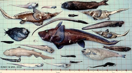 Fish assemblage from 1800m depth