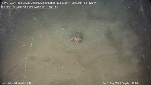 A surprised little Nephrops norvegicus caught on camera