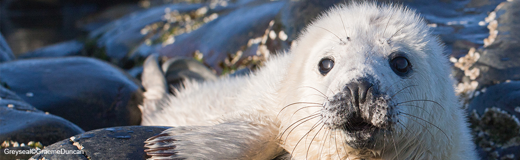 Grey Seal©Graeme Duncan