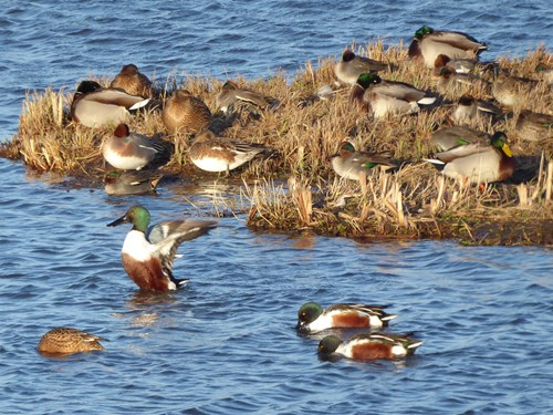 A variety of duck species (including mallard, teal and shoveler), some in the water, others standing or resting near the shoreline. Copyright Anna Robinson.