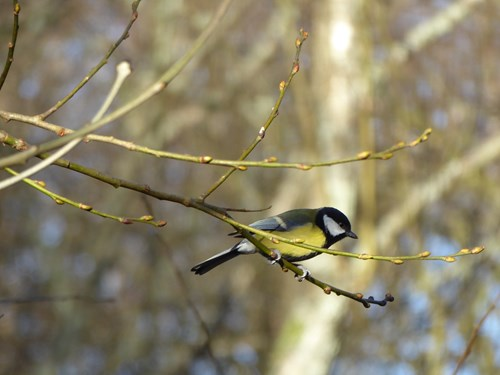 Great tit on a branch. Copyright Anna Robinson.
