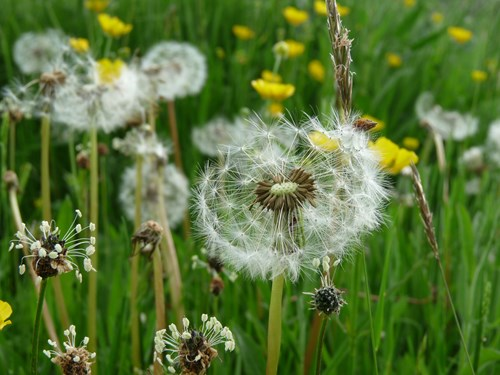 Dandelion seed heads, with grass and buttercups in the background. Copyright Anna Robinson.