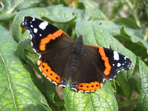 Red admiral butterfly with wings open, resting on some leaves. Copyright Anna Robinson.l