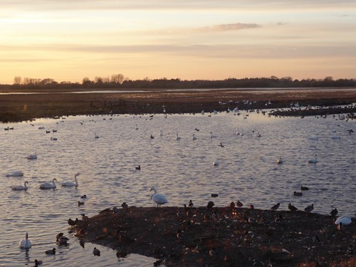 Wetland habitat, with many swans and other waterbirds present. Copyright Anna Robinson.