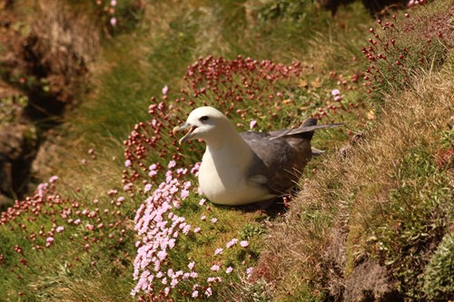 Fulmar with grass and flowers in the background. Copyright Anna Robinson.