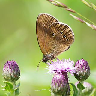 Ringlet butterfly © Maddy Long