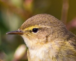 A close up of a chiffchaff showing the head and top of the body. The background is blurred. Photo by Alan Drewitt, Natural England.