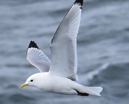 Offshore wind energy marine bird study boasts successful pilot year