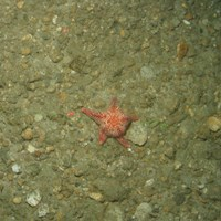 Close-up of the seabed at the South of the Isles of Scilly MCZ showing a cushion star on Subtidal mixed sediments