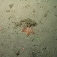 Close-up of the seabed at the South of the Isles of Scilly MCZ, showing a cushion star, Devonshire cup coral and anemone on Subtidal sand