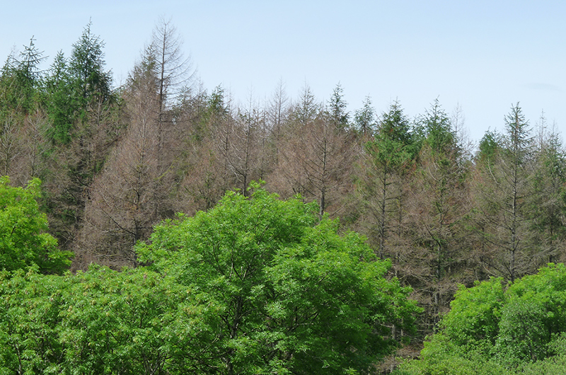 A view of a series of diseased tree tops. The foreground trees are leafy and green; but behind them are a series of leafless trees.