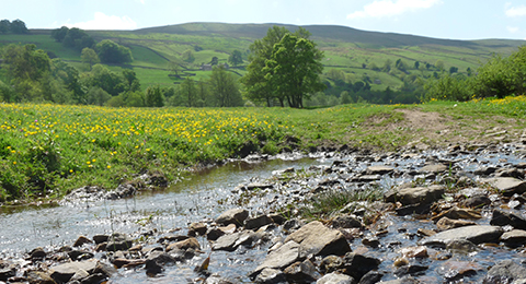 A shallow stream in the Yorkshires Dales. There are lots of rocks sticking out of the water. The bank is grassy with yellow flowers. In the background are hills and trees. Photo by Anna Robinson.
