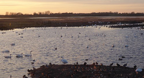 A view of a wetland at sunset. Lots of ducks are in the foreground and on the water. There are trees in the background. Photo by Anna Robinson.