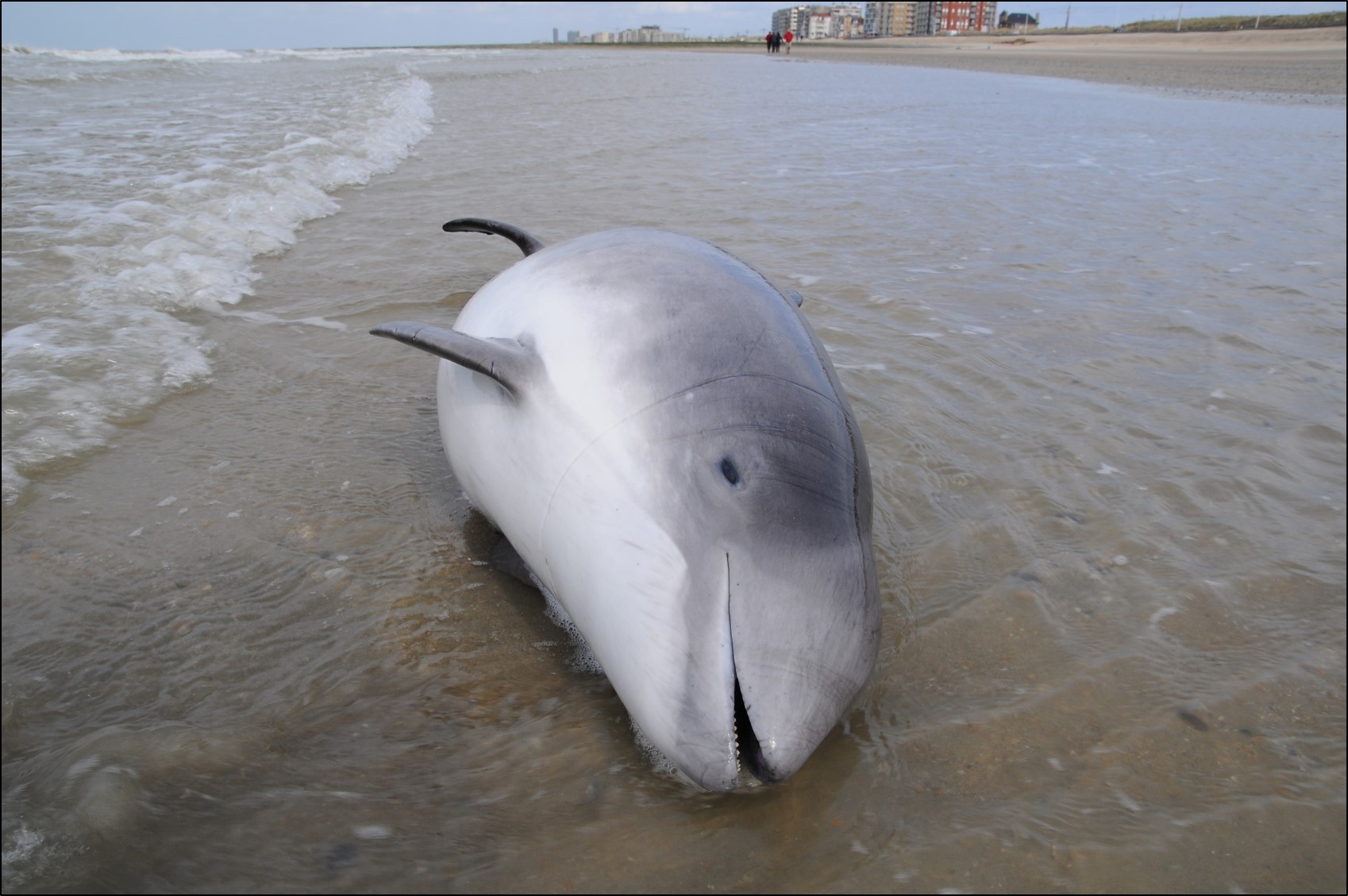 Harbour_porpoise_bycatch_v2.jpg