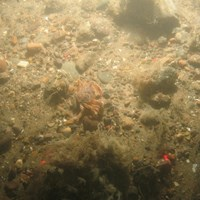 Close-up of the seabed at Holderness Offshore MCZ, showing sandy pebbles with cobbles and faunal turf, including common shore crab (Carcinus maenas)