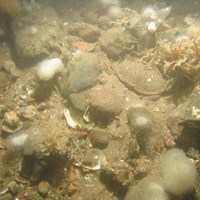 Close-up of the seabed at Holderness Offshore MCZ, showing sand, cobbles, pebbles and shell fragments with Dead man's fingers (Alcyonium digitatum), Securiflustra securifrons and Spirobranchus sp.