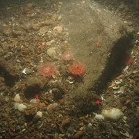 Close-up of the seabed at Holderness Offshore MCZ, showing boulders with Urticina sp. and Spirobranchus sp. surrounded by slightly sandy pebbles and shell fragments