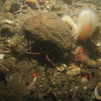 Close-up of the seabed at Holderness Offshore MCZ, showing Sandy cobbles and pebbles with Dead man's fingers (Alcyonium digitatum), Securiflustra securifrons, Urticina sp. and Rugose squat lobster (Munida rugosa)