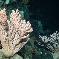Branching coral, (Courtesy of the NERC funded Deep Links Project - Plymouth University, Oxford University, JNCC, BGS).