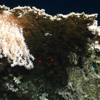 Soft coral using calcareous skeletons as a base, (Courtesy of the NERC funded Deep Links Project - Plymouth University, Oxford University, JNCC, BGS).