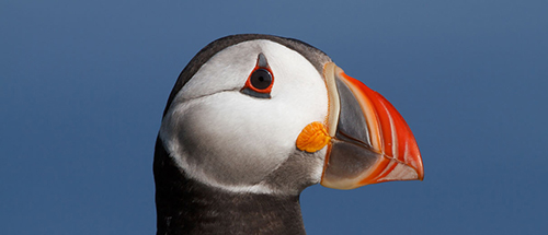 puffin-14-graeme-duncan-our-work-web.jpg