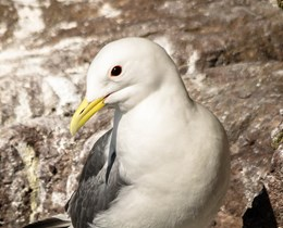 Understanding the impact of offshore wind developments on kittiwakes